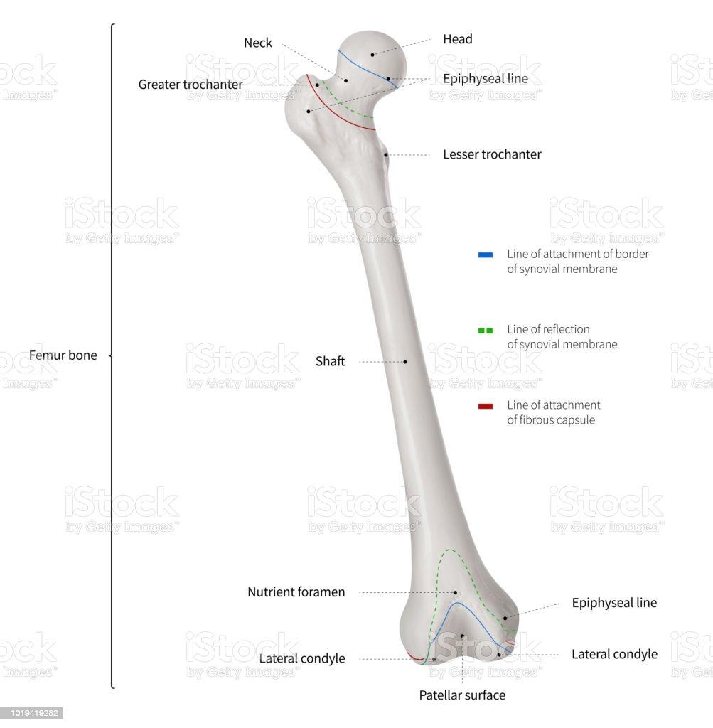 hight resolution of infographic diagram of human femur bone or leg bone anatomy system anterior view 3d