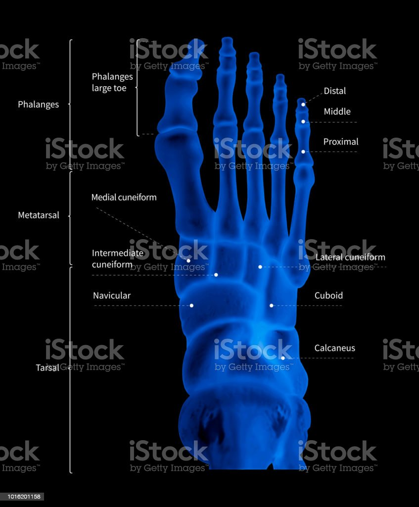 hight resolution of infographic diagram of human foot bone anatomy system anterior view 3d medical illustration
