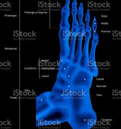 infographic diagram of human foot bone anatomy system lateral view 3d medical illustration human anatomy medical diagram educational concept x ray  [ 833 x 1024 Pixel ]