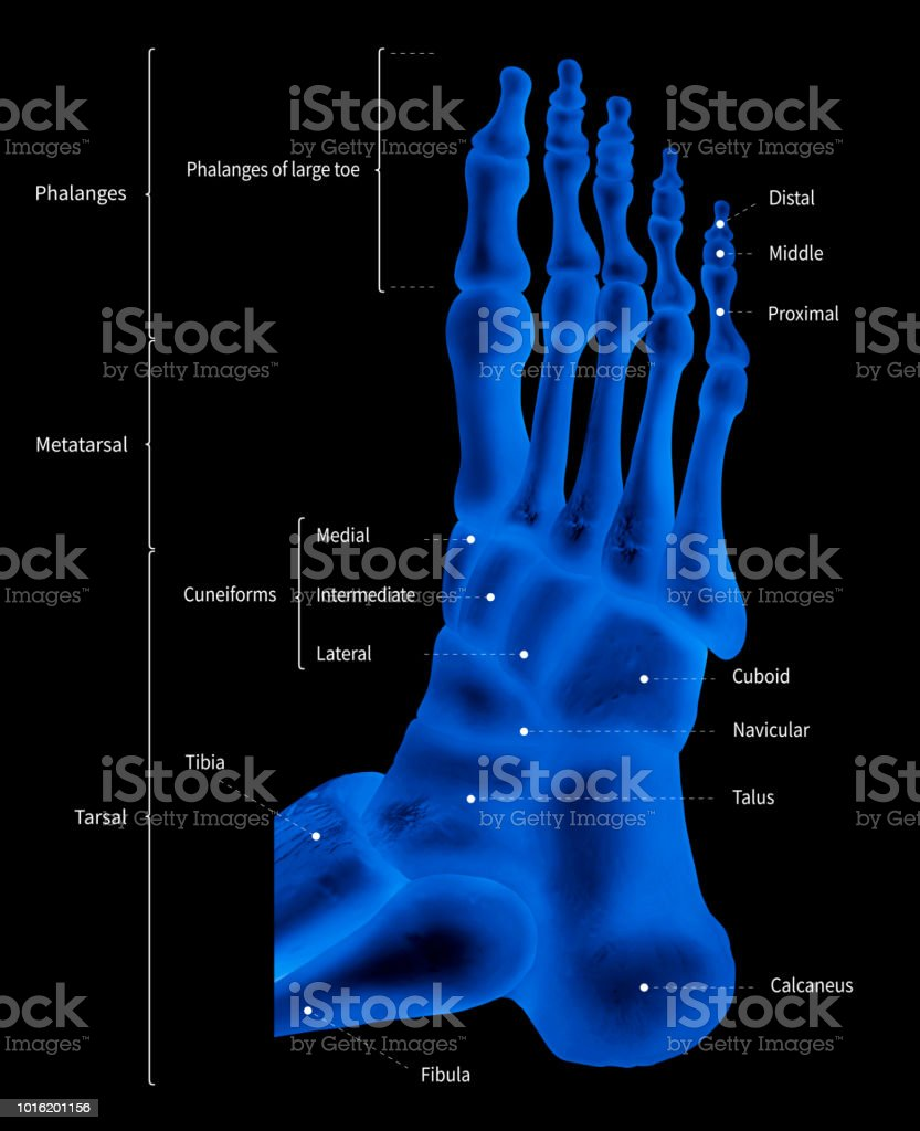 hight resolution of infographic diagram of human foot bone anatomy system lateral view 3d medical illustration human anatomy medical diagram educational concept x ray