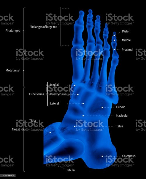 small resolution of infographic diagram of human foot bone anatomy system lateral view 3d medical illustration human anatomy medical diagram educational concept x ray
