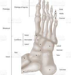 infographic diagram of human foot bone anatomy system lateral view 3d human anatomy  [ 833 x 1024 Pixel ]