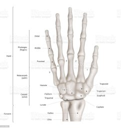 infographic diagram of human hand bone anatomy system anterior view 3d human anatomy medical diagram educational and human body concept isolated on  [ 991 x 1024 Pixel ]