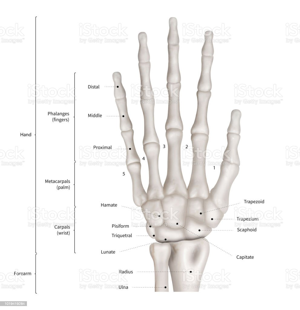 hight resolution of infographic diagram of human hand bone anatomy system anterior view 3d human anatomy medical diagram educational and human body concept isolated on
