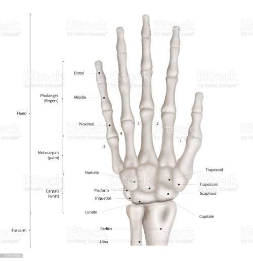small resolution of infographic diagram of human hand bone anatomy system anterior view 3d human anatomy medical diagram educational and human body concept isolated on