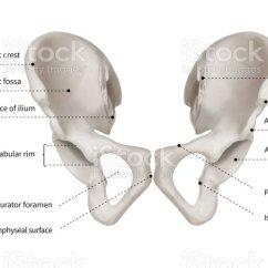 Human Bone Structure Diagram Immune System Of Hip Bones Wiring Schematic Infographic Or Pelvic Girdle Anatomy