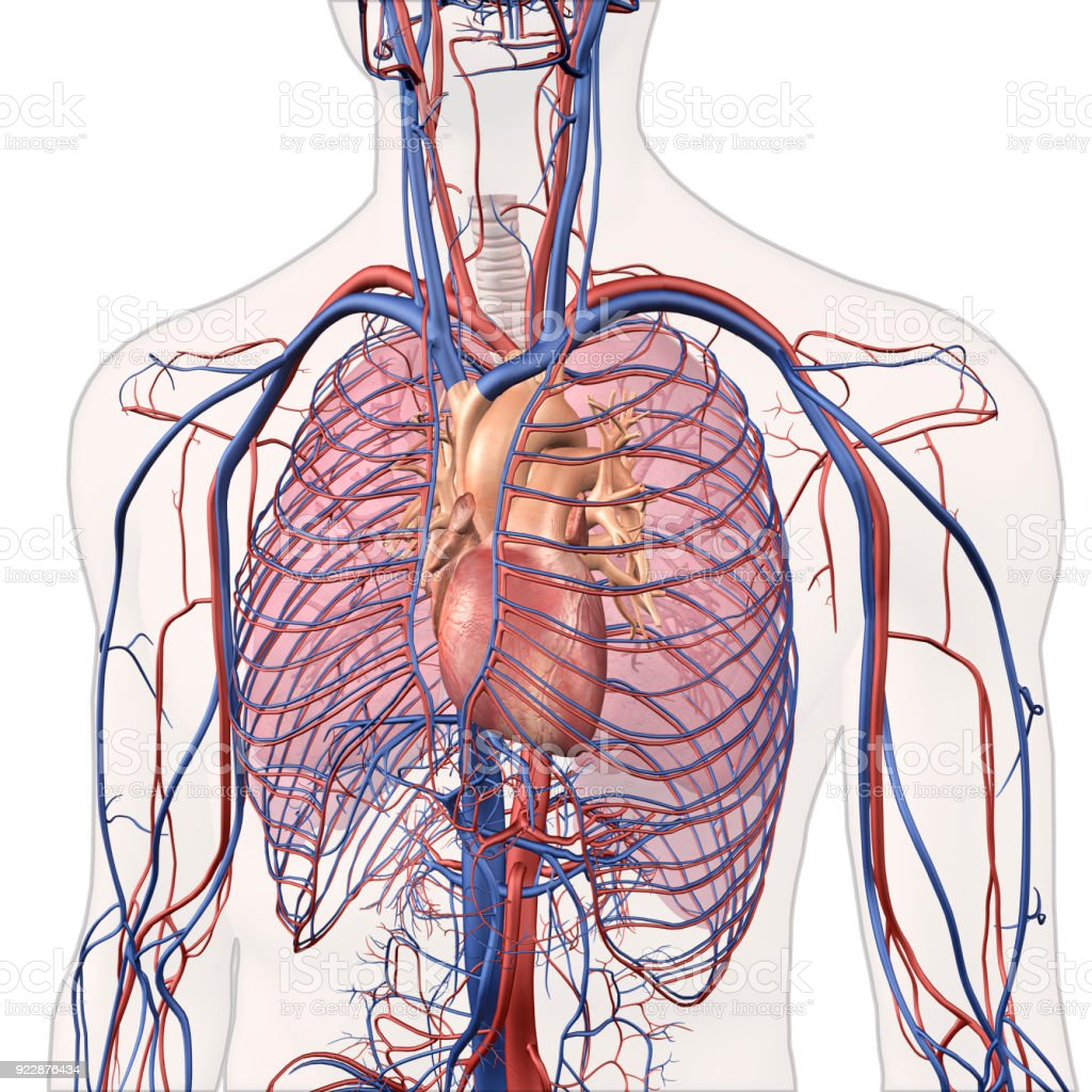 interior heart diagram rainforest structure chest arteries wiring online view of human lungs veins anatomy lung