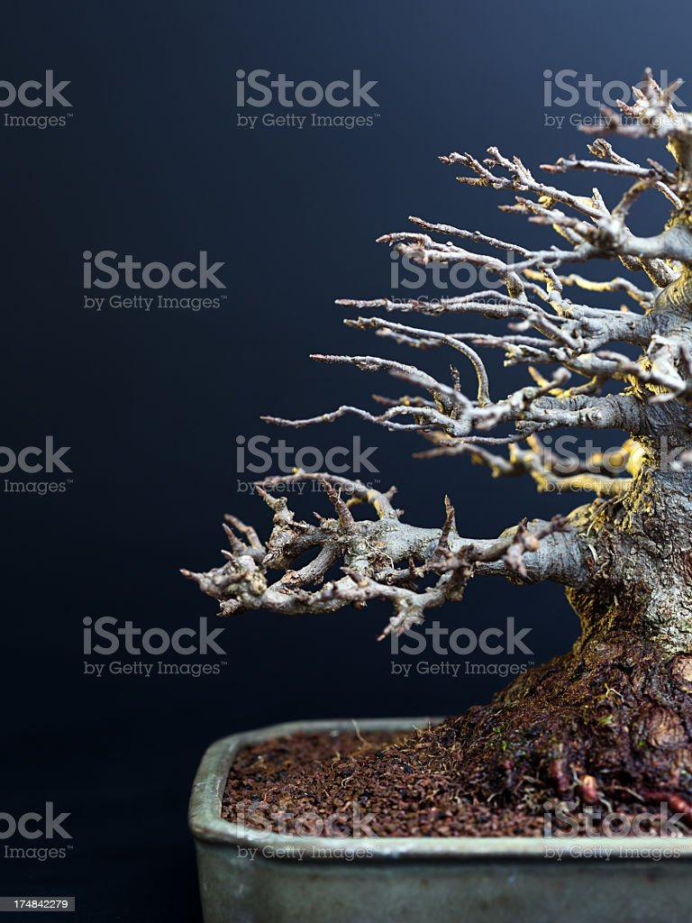 Blue Maple Bonsai Tree : maple, bonsai, Japanese, Maple, Bonsai, Stock, Photo, Download, Image, IStock