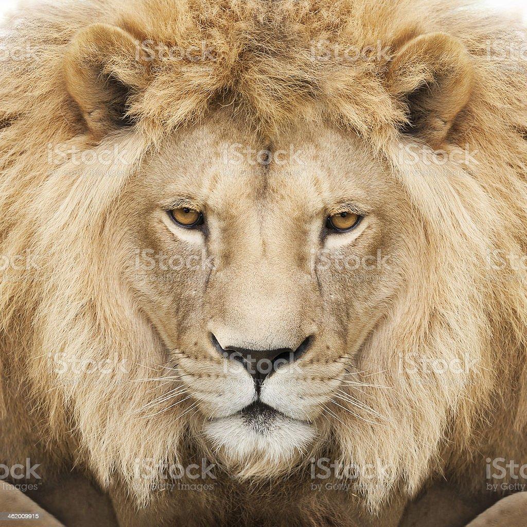 best lion face stock