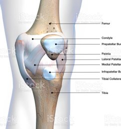 knee joint parts labeled on white background stock image  [ 1024 x 768 Pixel ]