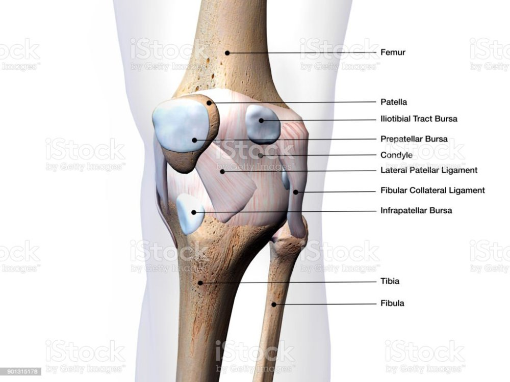 medium resolution of knee joint parts labeled on white background stock image