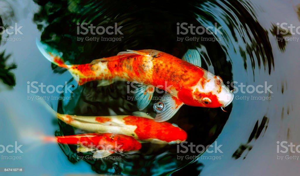 best koi fish stock