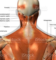 labeled anatomy chart of neck and back muscles on white background royalty free stock photo [ 1024 x 768 Pixel ]