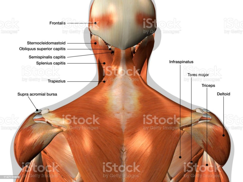 medium resolution of labeled anatomy chart of neck and back muscles on white background royalty free stock photo