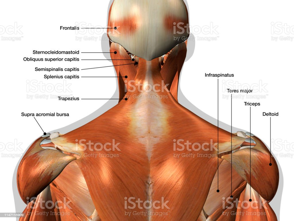 hight resolution of labeled anatomy chart of neck and back muscles on white background royalty free stock photo