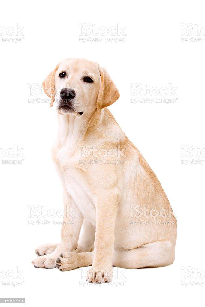 Labrador Dog Sitting On White Background Stock Photo