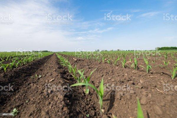 landscape corn field stock