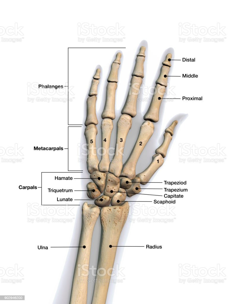 Left Hand And Wrist Bones Labeled On White Background ...