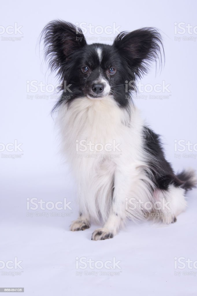 Petit Chien Noir Et Blanc : petit, chien, blanc, Photo, Libre, Droit, Petit, Chien, Blanc, Assis, Banque, D'images, Libres, Animal, Femelle, IStock