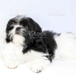 Little One Black Shih Tzu Puppy Stock Photo Download Image Now Istock