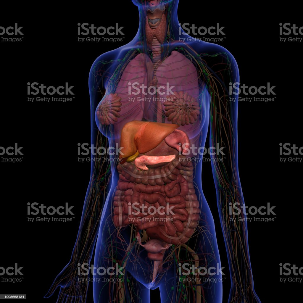hight resolution of liver gallbladder pancreas and spleen in abdomen internal anatomy royalty free stock photo