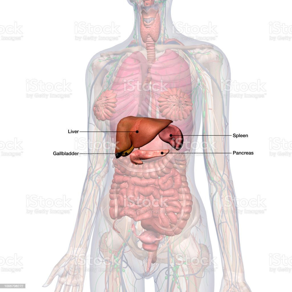 liver and spleen diagram reverse light wiring anatomy gallbladder choice image human