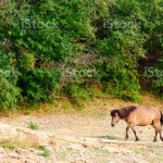 A Lone Yakut Horse Goes Head Down The Path At The Slope With Trees Of The Forest Stock Photo Download Image Now Istock