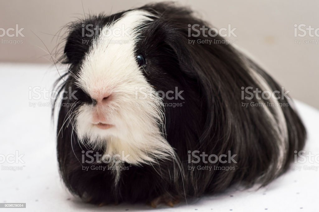 Black And Pig Haired Guinea Long White