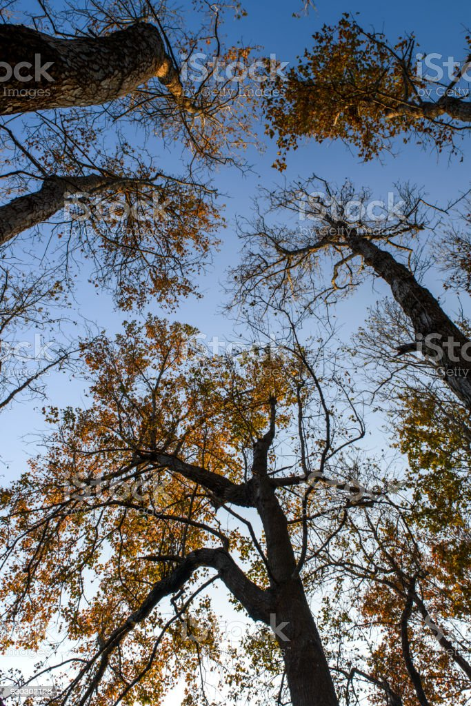 Blue Maple Tree : maple, Through, Maple, Leafs, Stock, Photo, Download, Image, IStock
