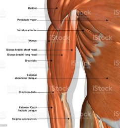 male arm and chest muscles labeled chart on white stock image  [ 1024 x 1024 Pixel ]