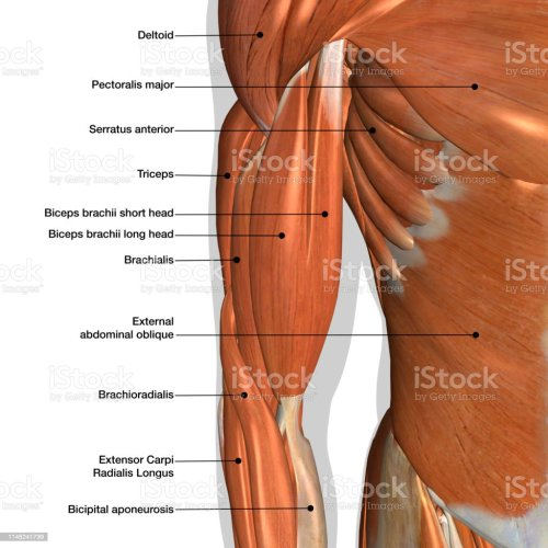 small resolution of male arm and chest muscles labeled chart on white stock image