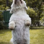 Maltese Dog Training Giving Food Award Stock Photo Download Image Now Istock