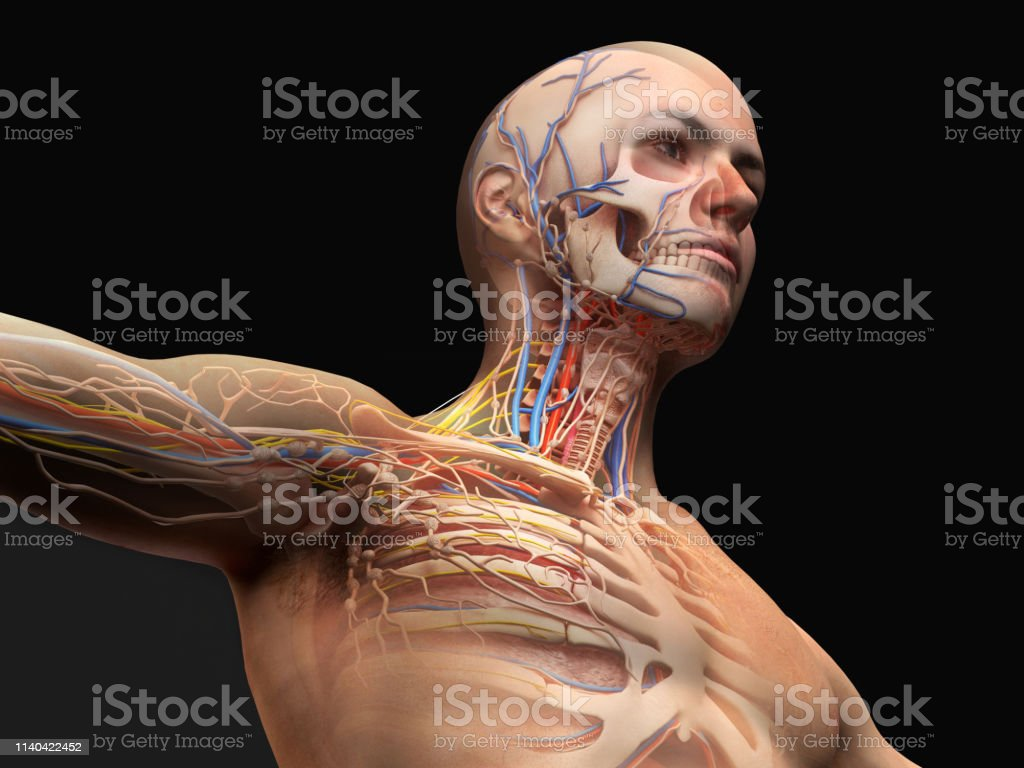 hight resolution of man head and chest anatomy diagram with ghost effect royalty free stock photo