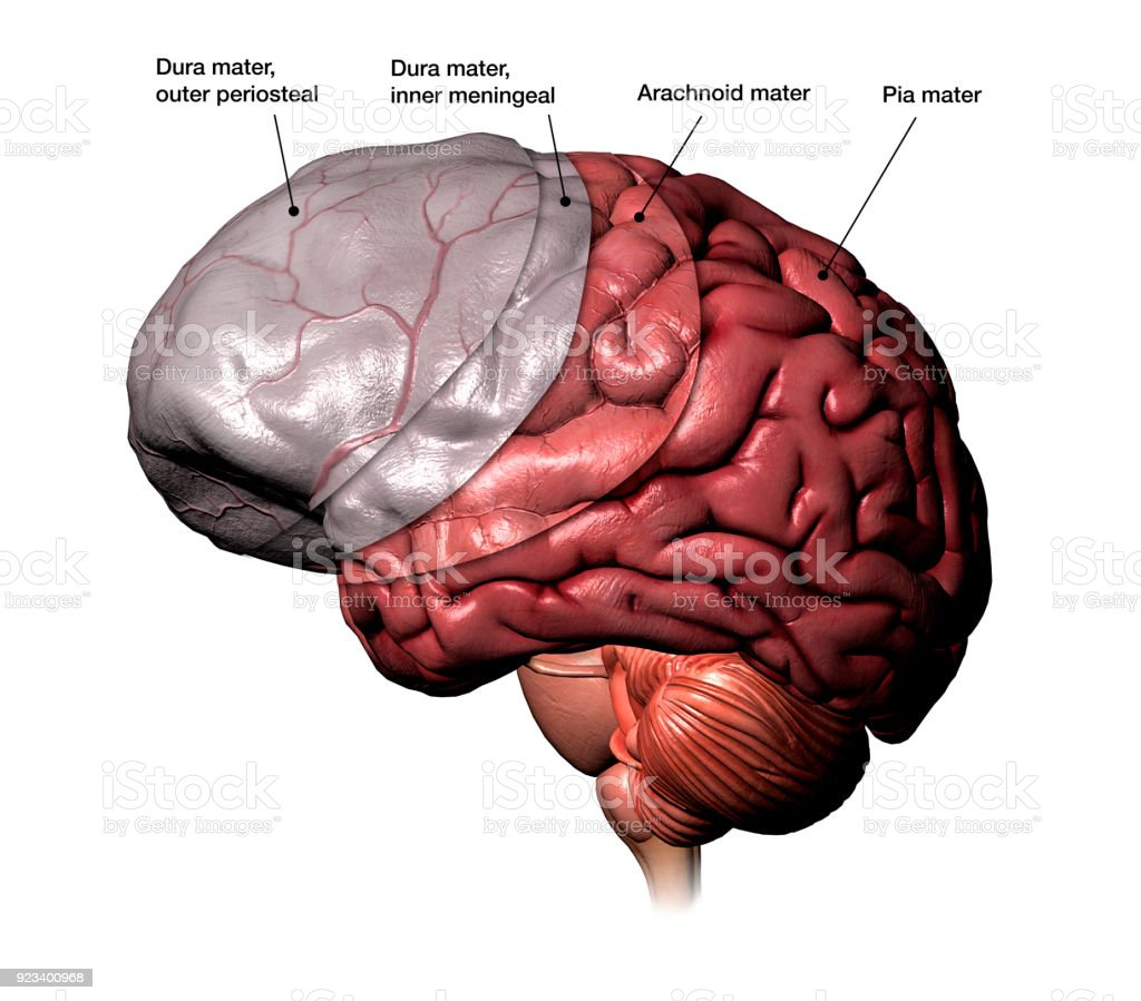 hight resolution of meninges membranes of the human brain labeled royalty free stock photo