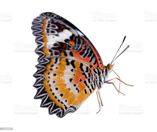 small resolution of monarch or leopard lacewing butterfly stock image