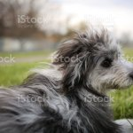 6 Month Old Blue Merle Mini Aussiedoodle Puppy Stock Photo Download Image Now Istock
