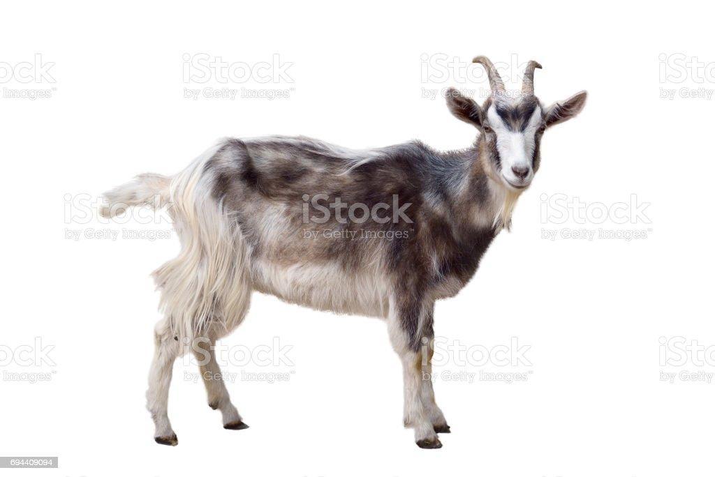 best goat stock photos