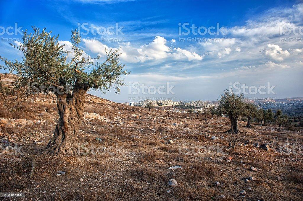 Ulivo Legno Di Ulivo Israele La Palestina Bellissimo