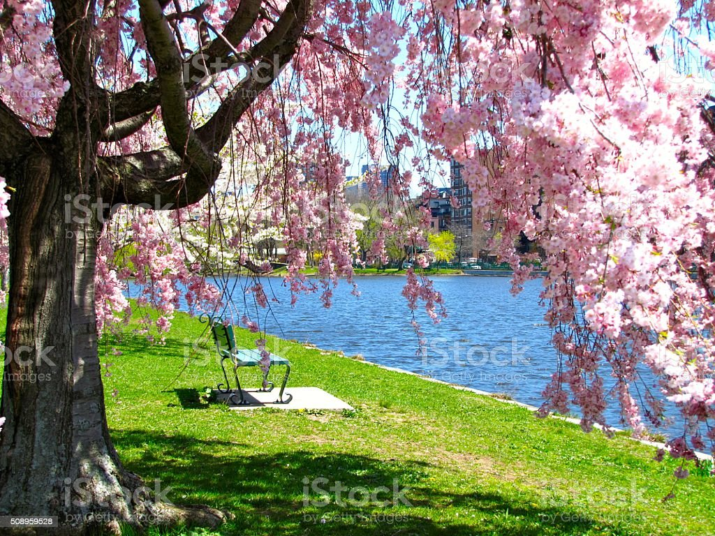 diagram the parts of cherry blossom tree profibus dp wiring park bench charles river boston ma springtime