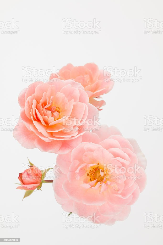 Welcome to gardenroses.co.uk the new and exciting place to shop for all your garden roses online and rose related accessories, part of style roses. Peach Pink Garden Roses Stock Photo Download Image Now Istock