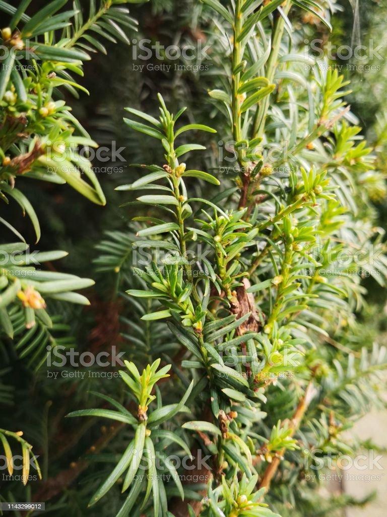 Matahi led a team of four artists to create the. Closeup Image Of Totara Tree Leaves Podocarpus Totara Stock Photo Download Image Now Istock