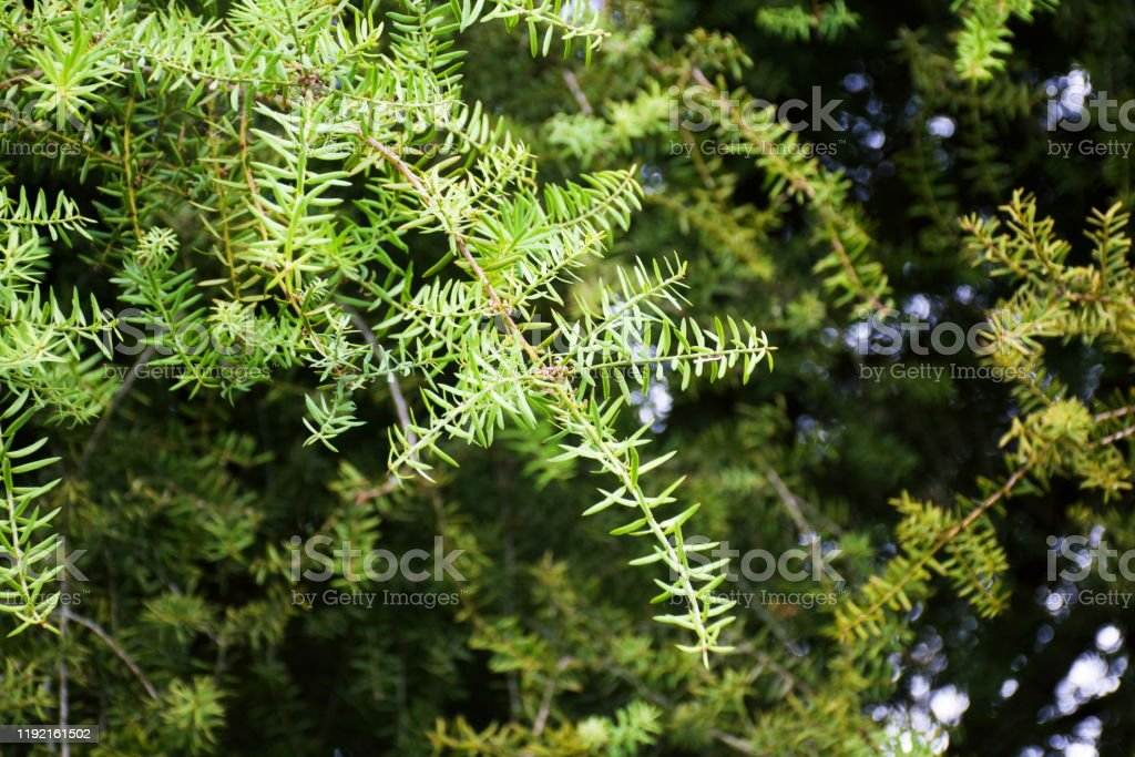 Create and manage your active subscriptions and communicate any changes to us. 55 Totara Tree Stock Photos Pictures Royalty Free Images Istock