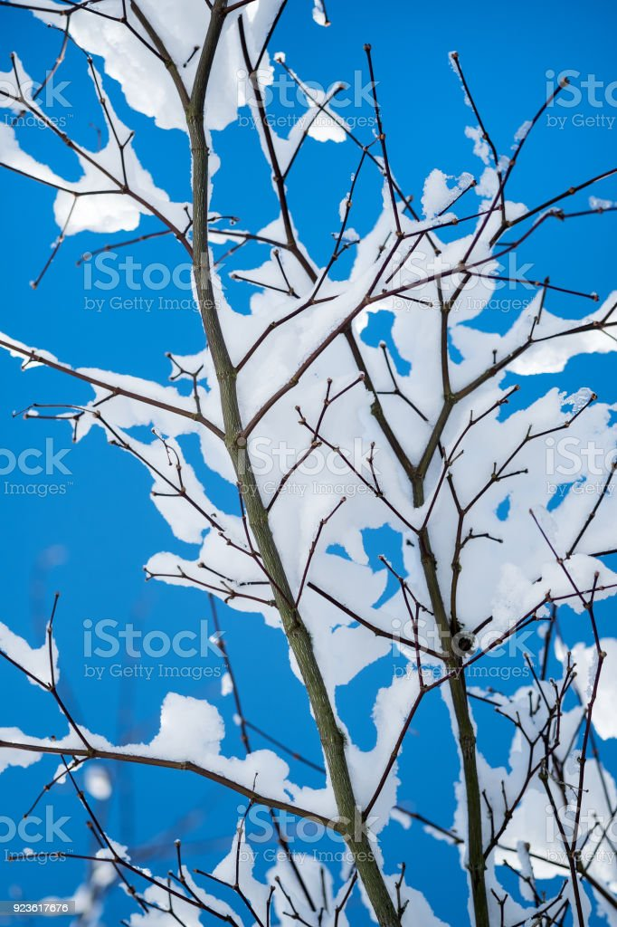 Blue Maple Tree : maple, Pristine, Maple, Branches, Against, Stock, Photo, Download, Image, IStock