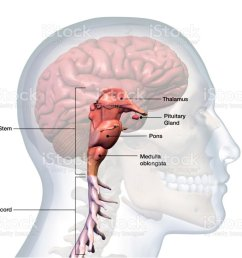 profile of male head with brain stem anatomy labeled royalty free stock photo [ 1024 x 819 Pixel ]