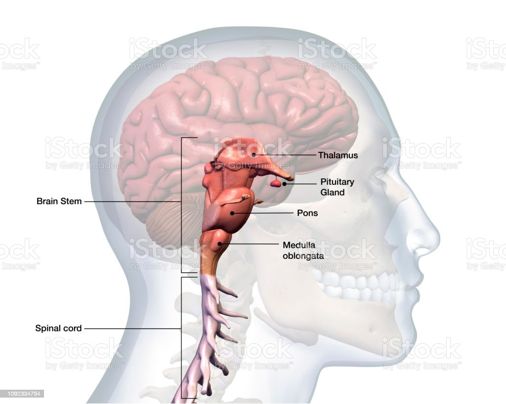 hight resolution of profile of male head with brain stem anatomy labeled royalty free stock photo