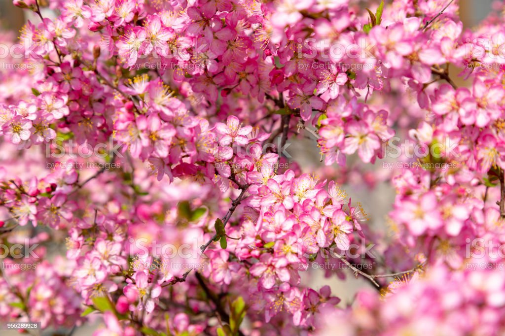 red cherry blossoms stock