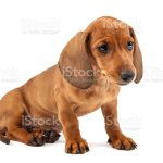 Red Dachshund Puppy On White Background Stock Photo Download Image Now Istock