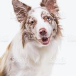Red Merle Border Collie Dog Portrait On Light Grey Background Stock Photo Download Image Now Istock
