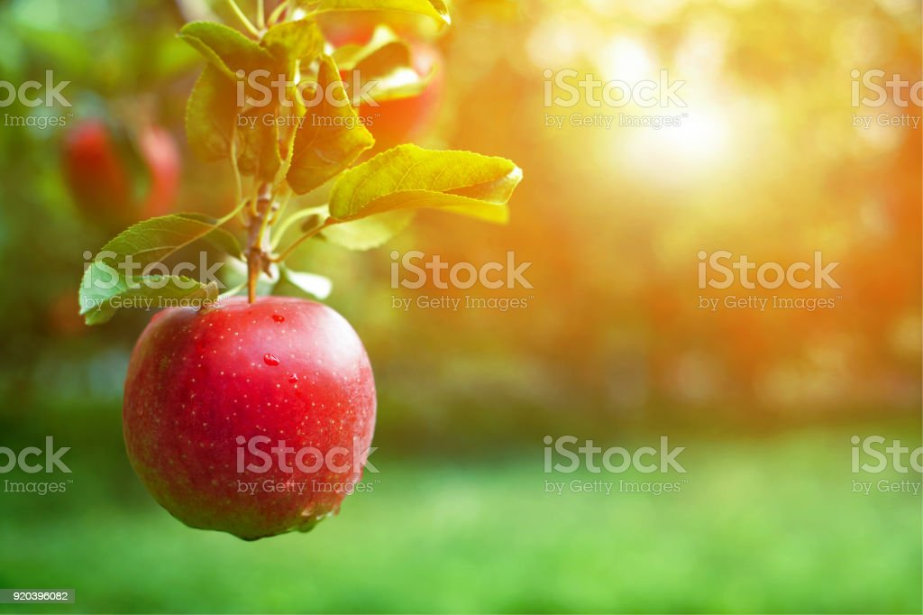 Free Fall Harvest Wallpaper Ripe Red Apple Closeup With Apple Orchard In The