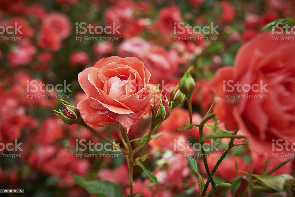 Even small spaces can accommodate roses in containers, raised beds, or narrow side yards. Garden Roses Pictures Download Free Images On Unsplash